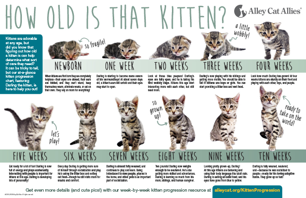 How Old Is That Kitten Kitten Progression At A Glance Alley Cat